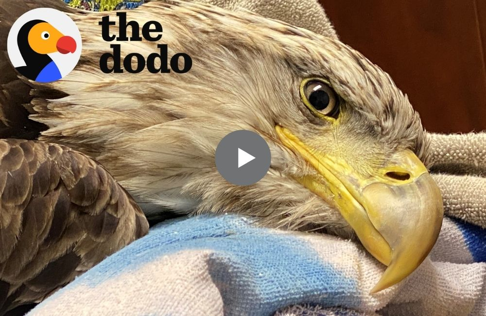 The Dodo | Bald Eagle Rescue by Dr. Cliff Worldwide Vet