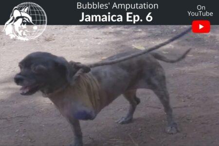 Jamaica Ep #6| Bubbles' Amputation | Dr.Cliff Worldwide Vet