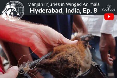 Manjah Injuries & Fatalities | Dr. Cliff Worldwide Vet